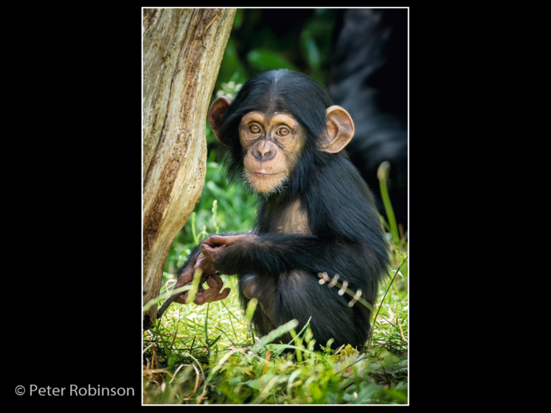Peter Robinson_Baby Chimpanzee_N (18)-2
