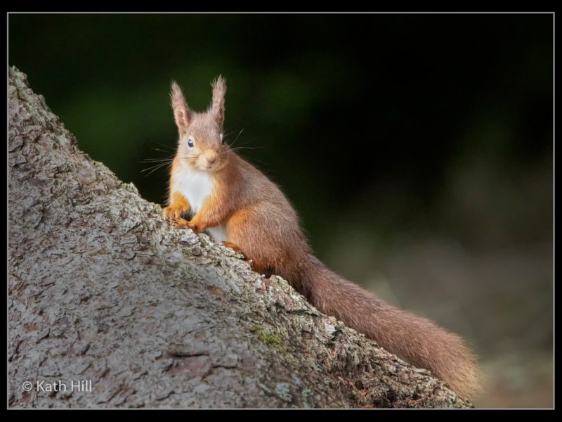 Kathleen Hill_Red Squirrel on Tree Trunk_N-2