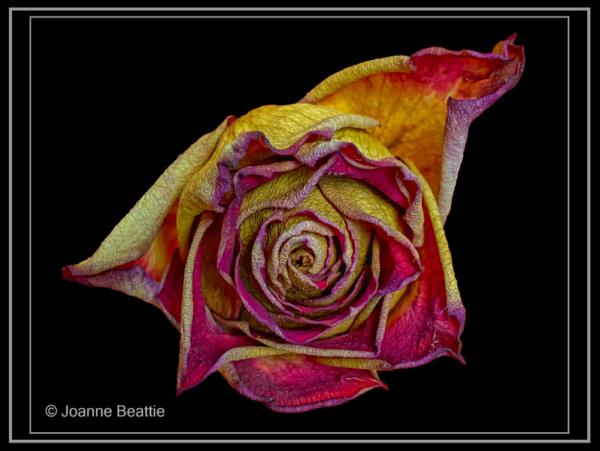 Joanne Beattie – 2021-01-04 12.21.25 – 2_Rose_G_45-2