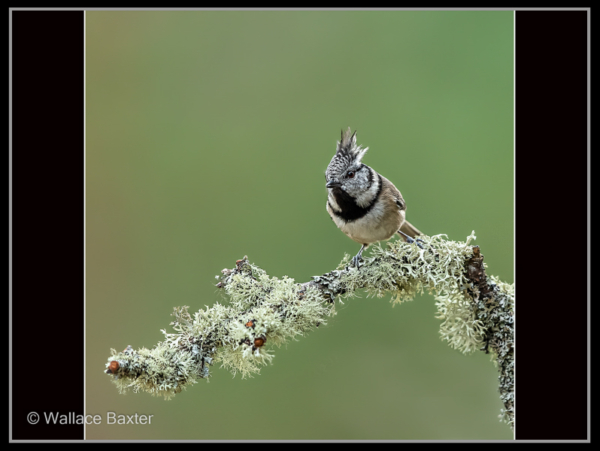 Wallace Baxter – 1_Crested Tit_N_29-2