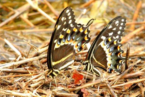 Palamedes Swallowtail Butterflies