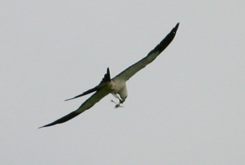 Swallowtailed Kite (losing its snack)