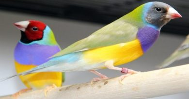Diamante-de-Gould