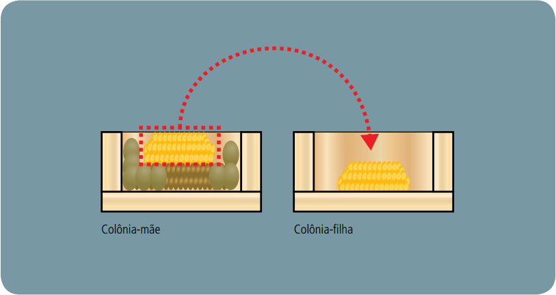Divisão de Colônias - Método da doação de favos