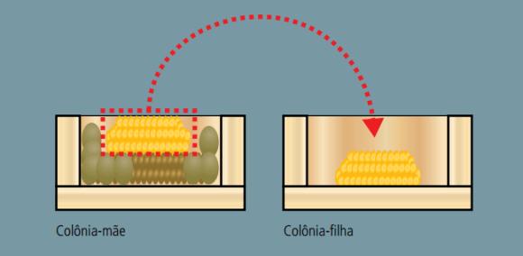 Divisão de Colônias de Abelhas Nativas -Método da Doação de Favos