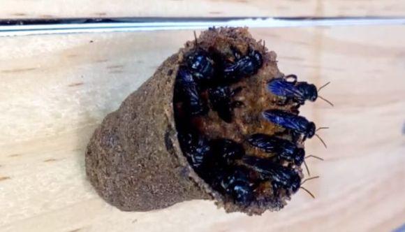 Abelhas Tubuna -Scaptotrigona Bipunctata - Entrada