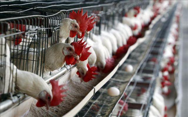 Pollos con identidad única: nuevo uso de blockchain para la avicultura china