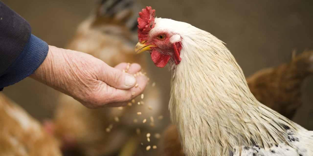 Alimentar pollos de forma remota es posible con Lightning Network