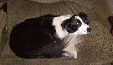 stop border collie jumping on furniture