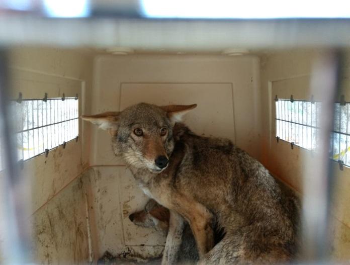 Rescatan dos coyotes en Hidalgo