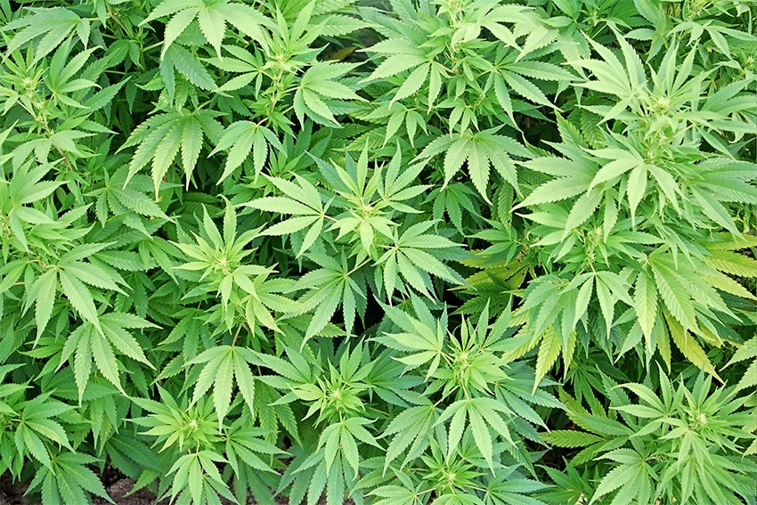 Dagga officially legal for private use in SA