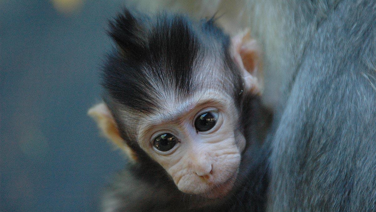 Marmoset Monkeys Pets