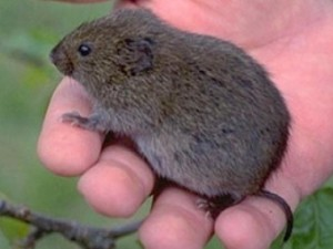 Short Tailed Mice In Your Yard Vole Identification Tips