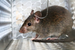 Miami Rat Trapping
