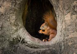 Miami Squirrel