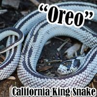 Oreo_1