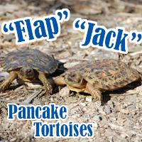 Pancake_Tortoises