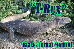 T_Rex_medium
