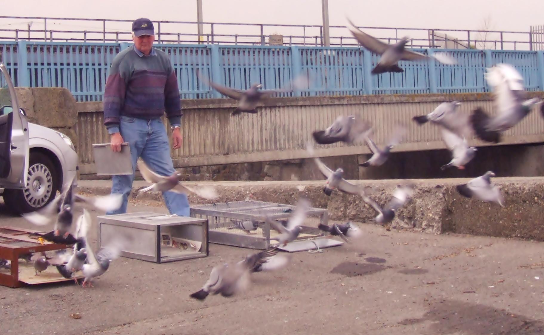 Clontarf Pigeon Club Racing Pigeons
