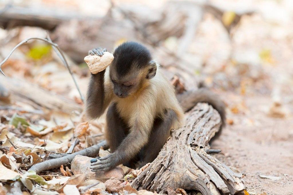 px Stone tool use by a capuchin monkey