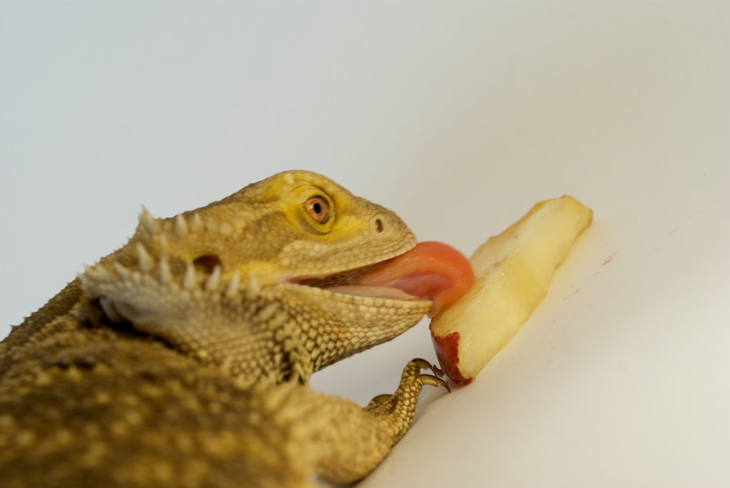 Bearded dragon eating pear