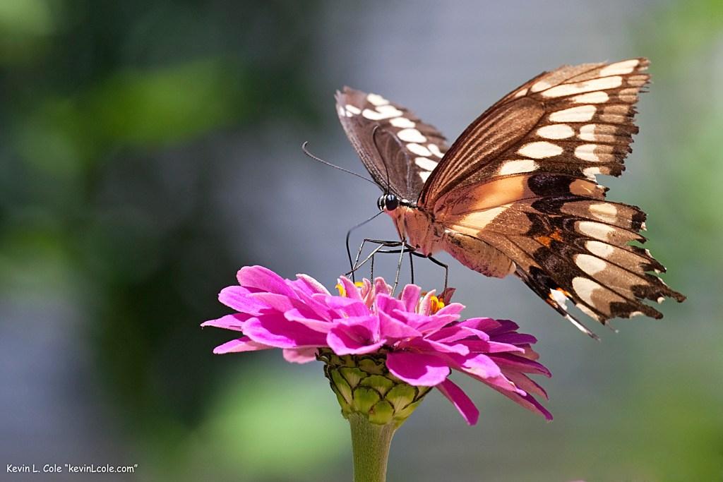 Polydamas Swallowtail (Battus polydamus)