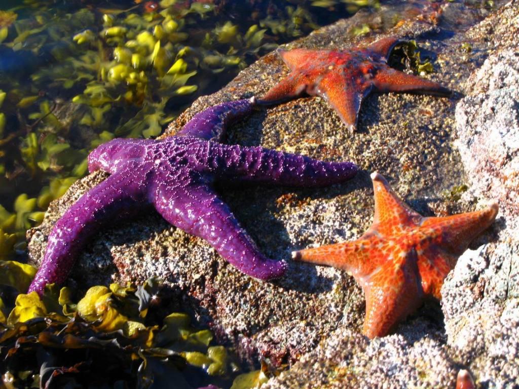 Sea Stars sunning ()