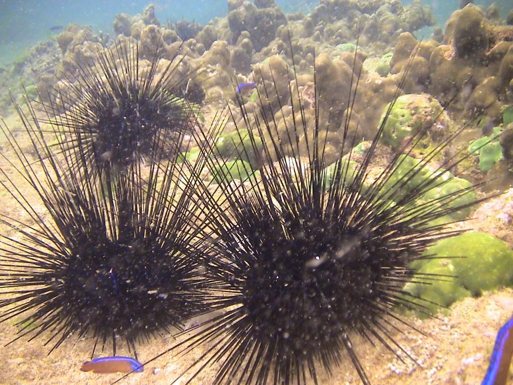Sea Urchins enjoying sunbathing