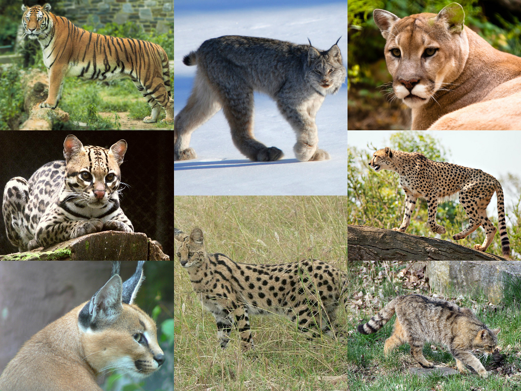 The Felidae