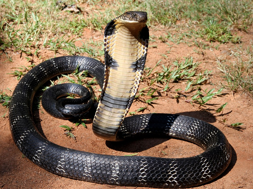 The Mystical King Cobra and Coffee Forests