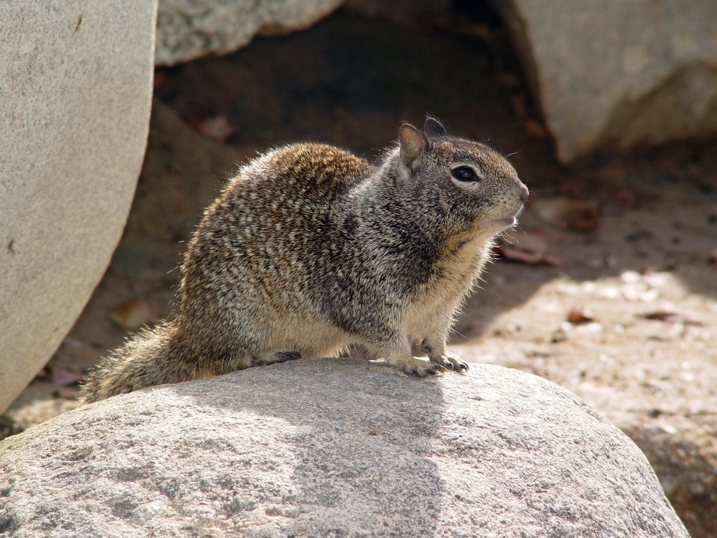 CA Ground Squirrel on rock