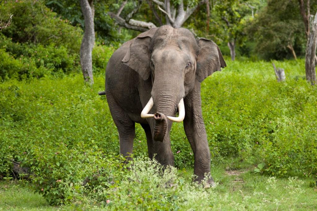 Elephas maximus (Bandipur)