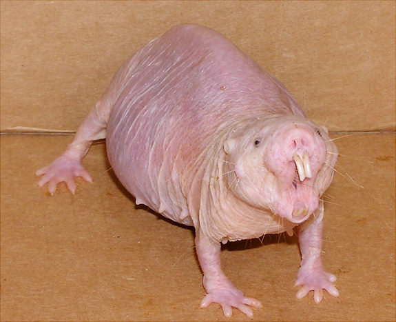 Angry female naked mole rat Credit: Buffenstein/Barshop Institute/UTHSCSA