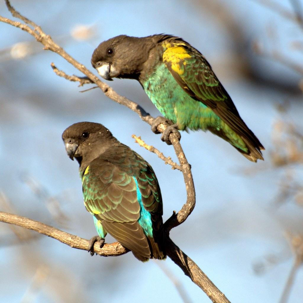 Poicephalus meyeri Zimbabwe two  c