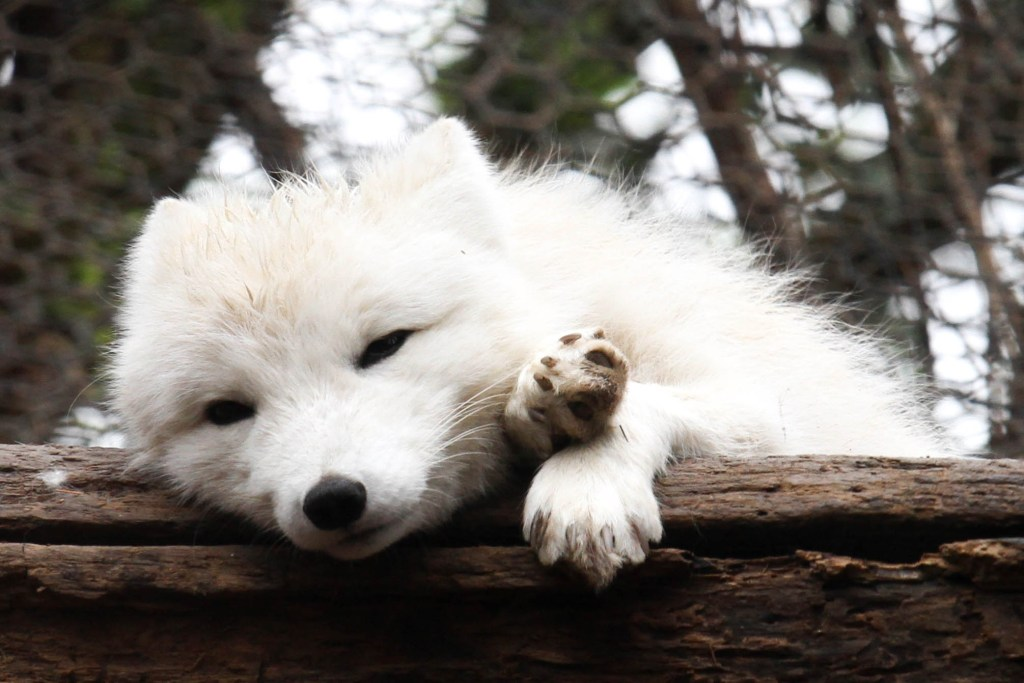 Sleepy Arctic Fox
