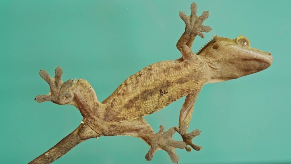 CRESTED GECKOS ARE SOO COOL