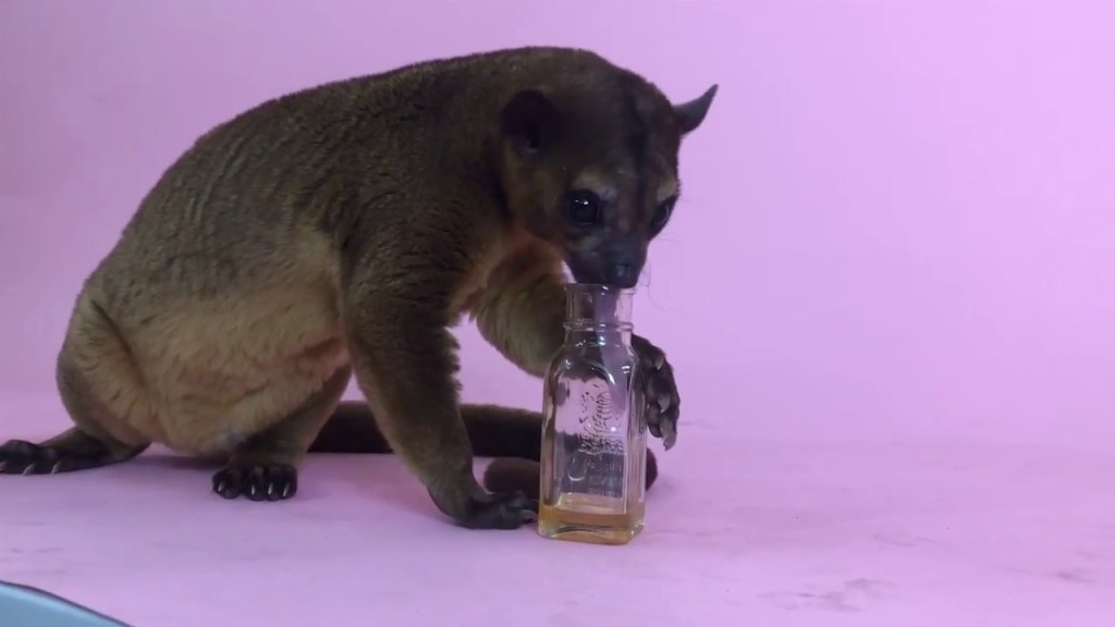 Check out the Kinkajous tongue