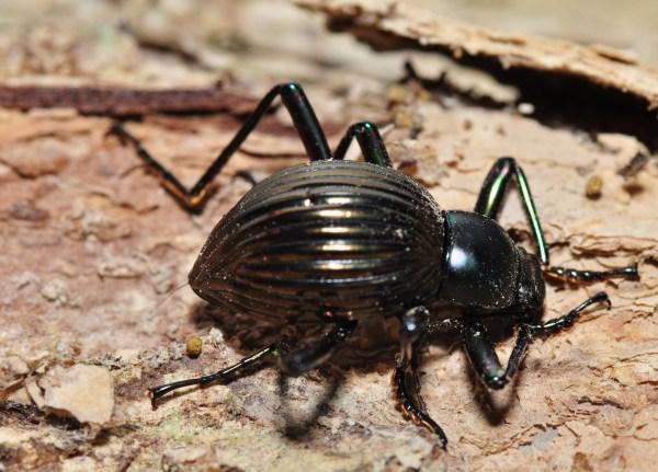 Darkling Beetle Fact Sheet