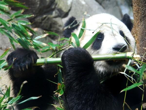 Giant Panda Fact Sheet