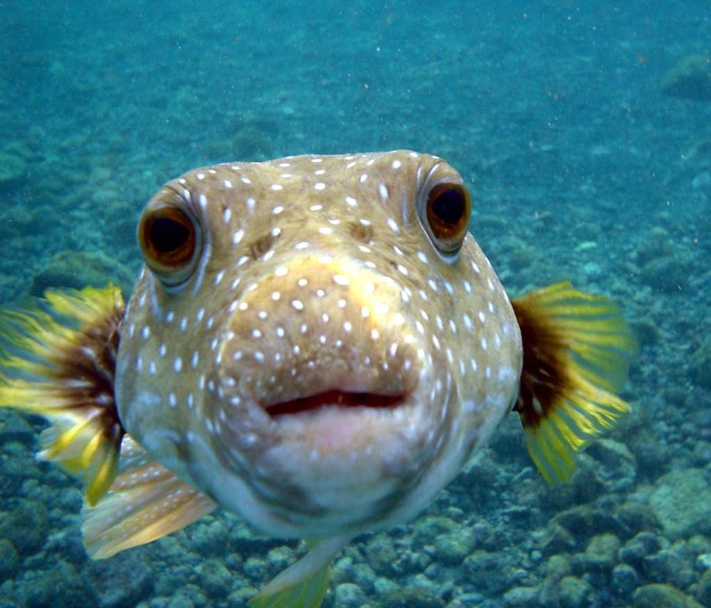 Puffer Fish DSC