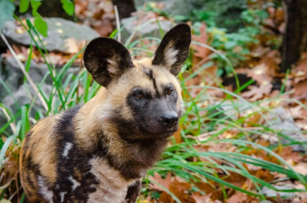 African Painted Dog Fact Sheet