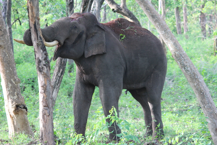 An Asian Elephant eating the bark of a tree