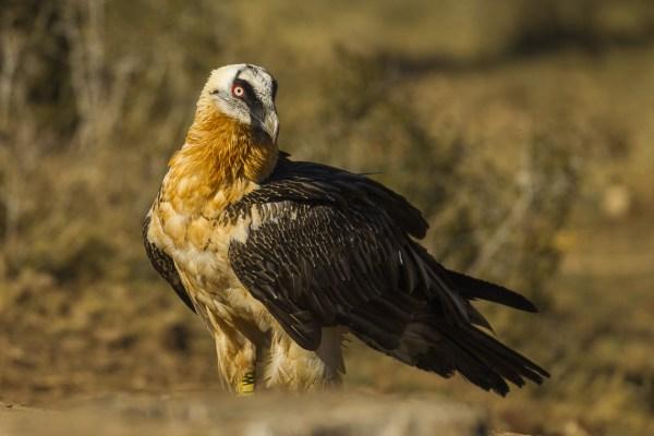 Bearded Vulture Fact Sheet