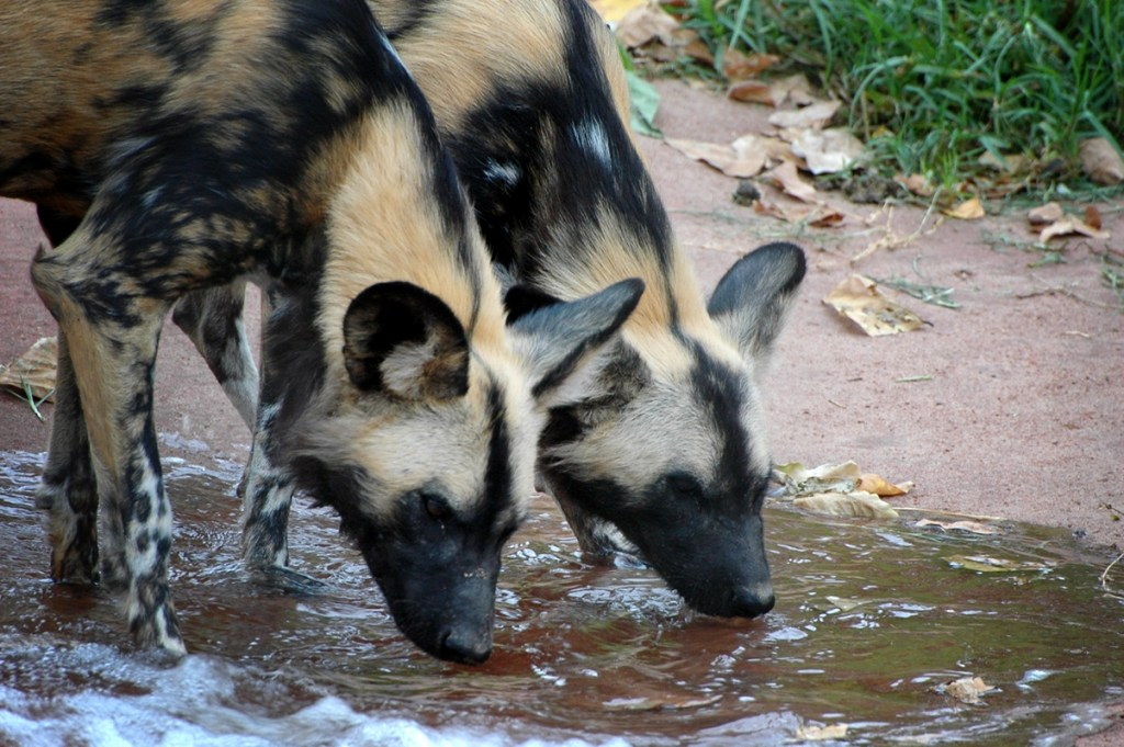 Painted Dogs Drinking Perth Zoo