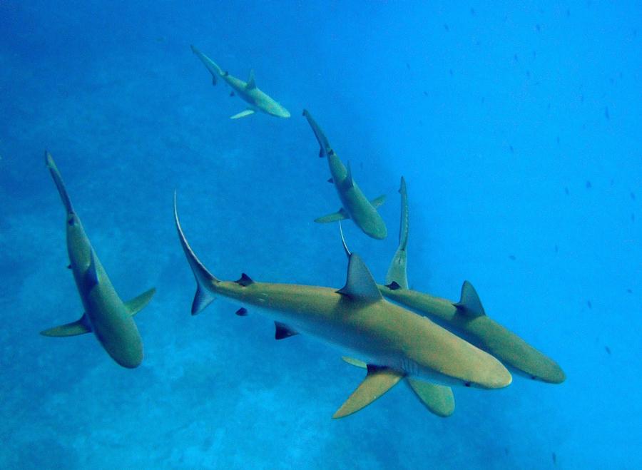 gray reef sharks at kure atoll med