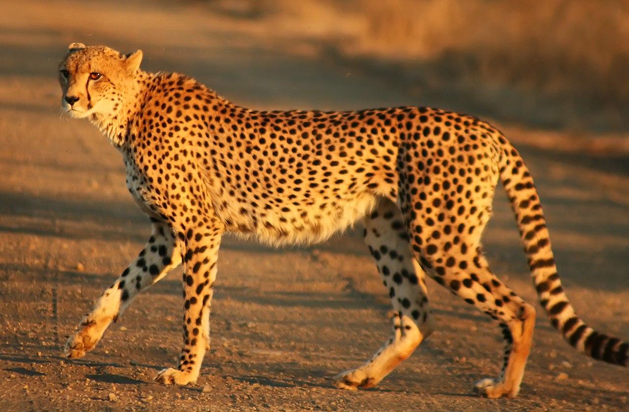 px Cheetah Kruger