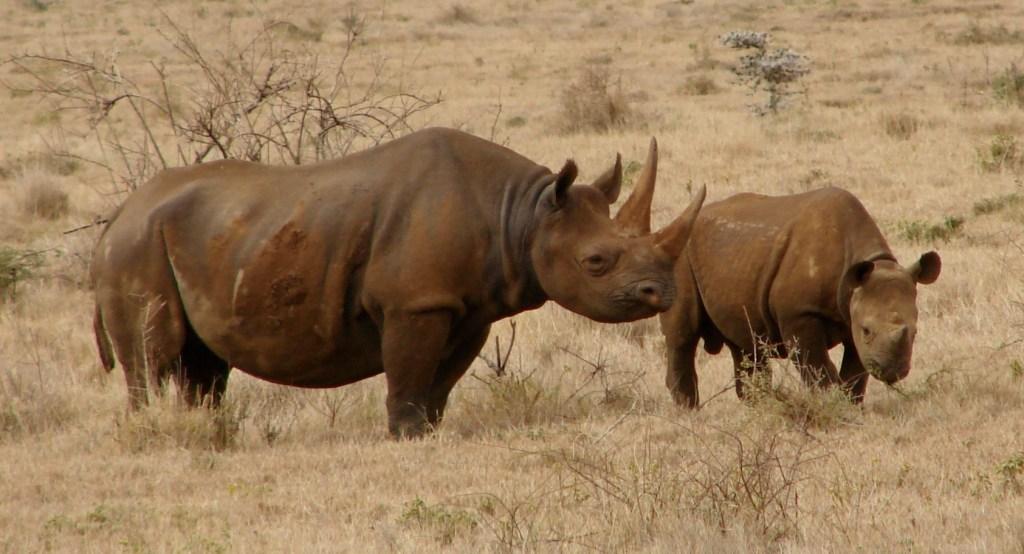 Black Rhinos Kenya