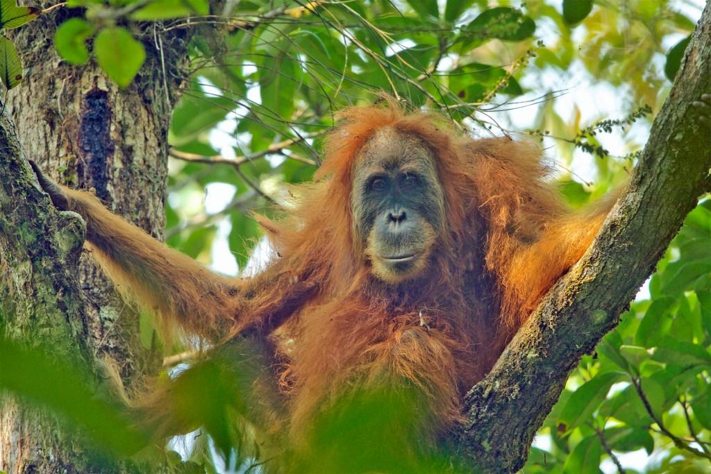 Pongo tapanuliensis female
