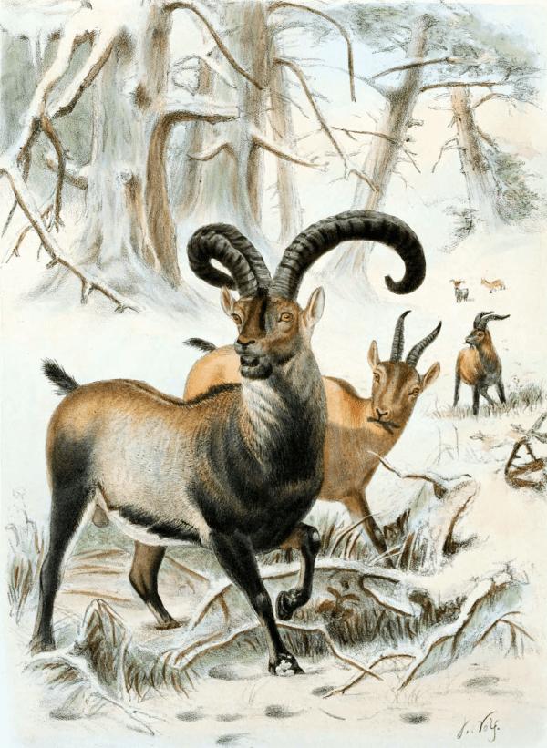 Pyrenean Ibex Fact Sheet