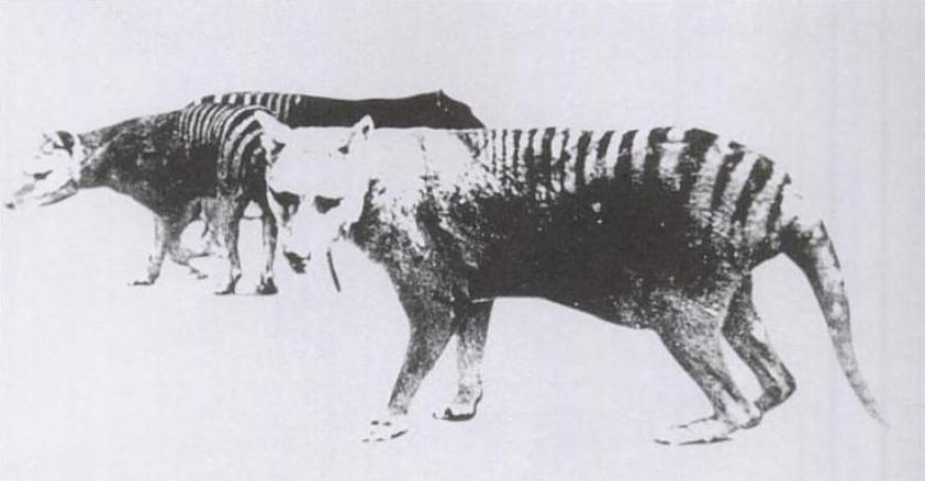 Thylacine pouch